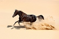 Marwari horse _ galloping in sand