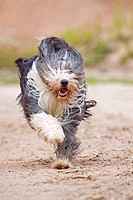 Bearded Collie dog _ running