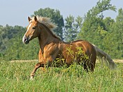 Haflinger horse _ galloping on meadow