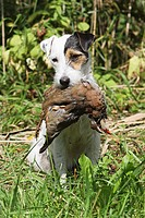 Parson Russell Terrier dog with prey _ sitting on meadow
