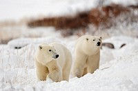 Polar bears Ursus maritimus Along Hudson Bay coastline