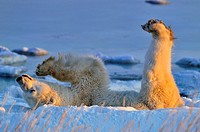 Polar bear Ursus maritimus Rolling in snow