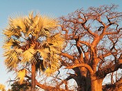 Baobab Adansonia digitata + Makalani palm Hyphaene petersiana - Two prominent trees in Namibia´s north where the Owambo people live  Photographed in t...