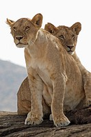 Lion Cubs,in Kenya, Panthera leo