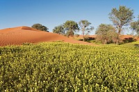 Namibia - Carpets of Devil´s Thorn Tribulus zeyheri among sand dunes and camelthorn trees Acacia erioloba during the rainy season March in the Namib D...