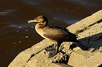 Great Cormorant sitting on the shore of a lake