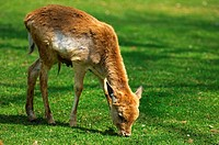 Grazing fawn, Fallow Deer, Dama dama
