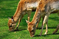 Browsing female Fallow Deers, Dama dama