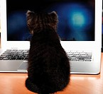 Domestic cat, kitten sitting in front of laptop, rear view