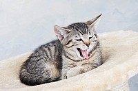 Domestic cat, yawning Kitten