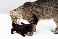 Domestic cats, Cat licking fur of kitten