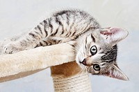 Domestic cat, kitten lying on cat tree