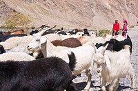 Two girls with herd of goats, Wakhan Valley, The Pamirs, Tajikistan, Central Asia, Asia