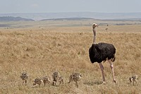 Common ostrich Struthio camelus male watching chicks, Masai Mara National Reserve, Kenya, East Africa, Africa