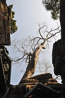 Angkor (Cambodia): big tree at the Ta Prohm