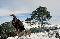 Golden eagle in a winter landscape