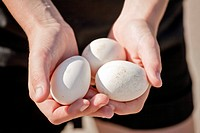 Scandinavian Peninsula, Sweden, Gothenburg, Human hand holding three eggs, close_up
