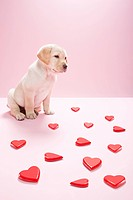 Labrador puppy and heart shapes