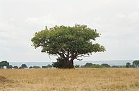 Acacia on Massai Mara