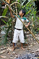 Boy cutting cacao from tree