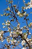 Almendro Prunus dulcis en Cadalso de los Vidrios  Madrid  España