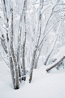 Norway, Oslo, Holmenkollen  Snow covered trees found in the Holmenkollen area near to the Tryvann Ski-field