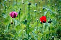 Flower , poppies opium drug , Kullu , Himachal Pradesh , India
