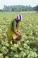 Lady harvesting green gram vigna radiata linn , India