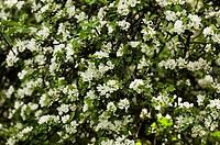 Close_up of apple blossom on a apple tree