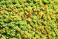 Fruits , bunch of grapes , Pune , Maharashtra , India