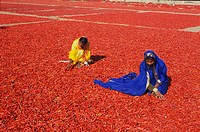 Spices red chilly women working , Jodhpur , Rajasthan , India