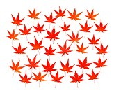 Maple leaves in red, white background