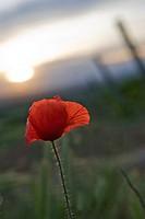 Poppy in vineyard, Barbastro, Huesca, Spain