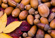 Detail view of Autumn leaves and nuts collected from woodland in the north of England