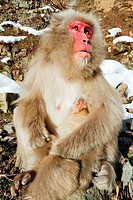 Japanese macaque Macaca fuscata with its young
