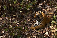 Royal Bengal Tiger resting in forest shade Kanha National Park Madhya Pradesh India Asia