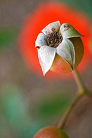 Rose hip in Auckland, New Zealand