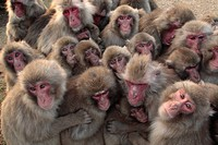 Japanese macaque Macaca fuscata huddled together