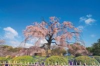 Weeping cherry blossom, Kyoto city, Kyoto prefecture, Japan