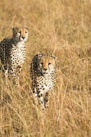 Two male cheetah walk the plains of the Masai Mara searching for prey