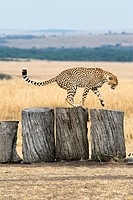 Cheetah play on some tree trunks in the Masai Mara