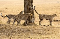 Three male cheetah scent marking in the Masai Mara