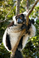 Black-and-white Ruffed Lemur (Varecia variegata variegata), Lemur´s Island, Andasibe, Toamasina, Madagascar