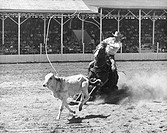 Cowboy lassoing a calf in a rodeo