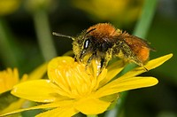 Andrena fulva – the tawny mining bee, female on lesser celandine flower, covered in pollen
