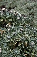 helichrysum gossypinum, lanzarote