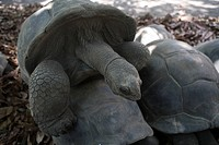 Mating Tortoises at Union Plantation, La Digue Island, Seychelles