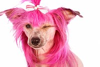 Chinese Crested Dog with pink hair