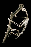 19th century sloth skeleton. 19th century skeleton of a sloth order Pilosa clinging to a tree. Photographed in the museum of the National Veterinary S...