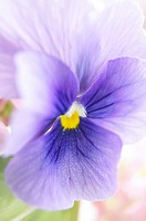 Close up of pansy or Viola